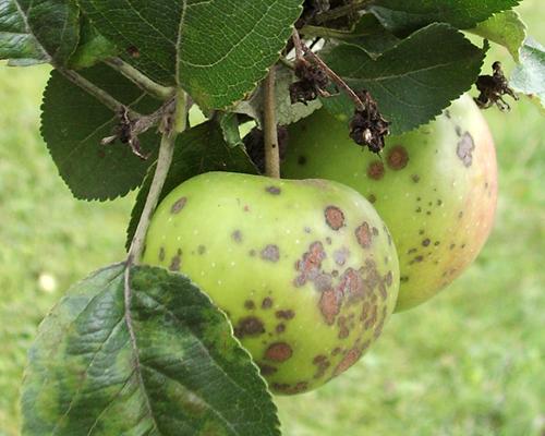 Яблоки покрылись коркой, или защищаемся от парши с весны