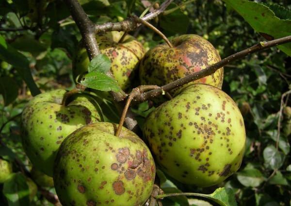 Яблоки покрылись коркой, или защищаемся от парши с весны фото - 27994