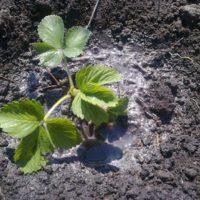 Как правильно посадить клубнику фото - 27996 200x200