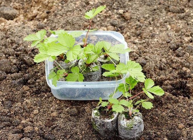 Как правильно посадить клубнику фото - 27998
