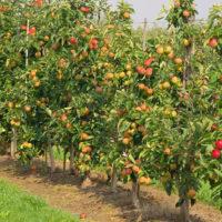 Чем и сколько раз кормить сад фото - 28005 200x200