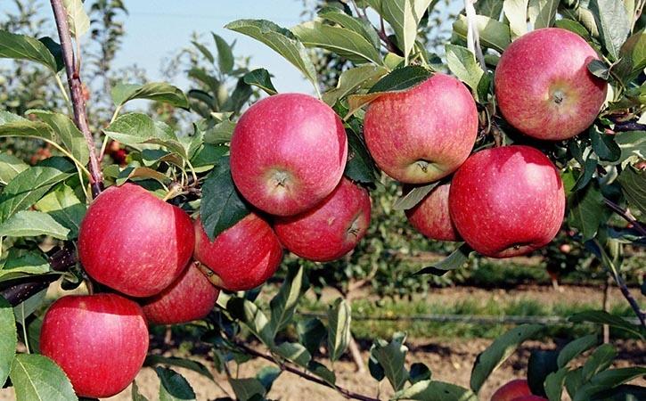 Спасет ли яблоню капельница?