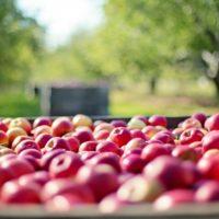 30310 Спасет ли яблоню капельница?