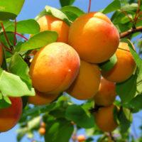 30345 Запросы абрикоса в средней полосе