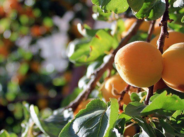 Запросы абрикоса в средней полосе