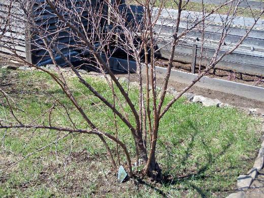 Срочно идем в сад – обрезать деревья фото - 28730