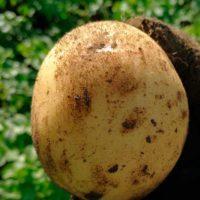 30405 Картофель сорт Электра (Голландия)