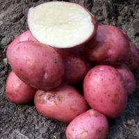 30407 Картофель сорт Кристина (Голландия)