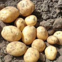 Картофель сорт Бюррен (Голландия) фото - 29067 200x200