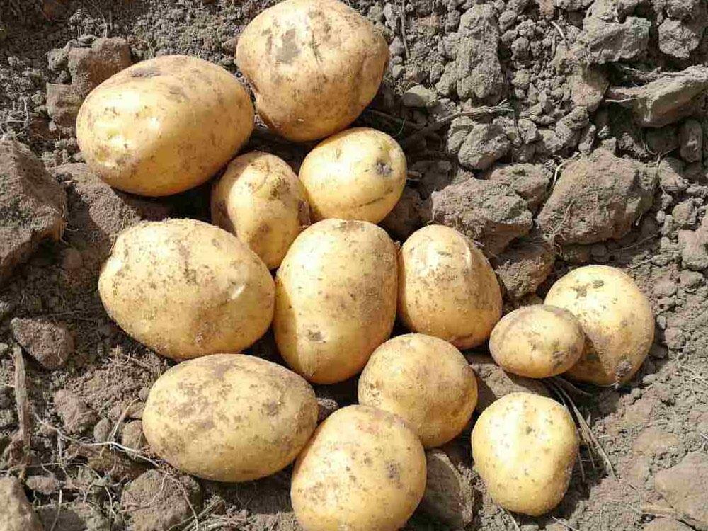 30410 Картофель сорт Бюррен (Голландия)