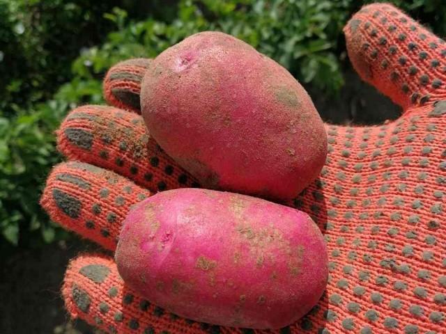 Сорт картофеля Торнадо (Голландия)