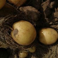 30415 Картофель сорт Орла (Голландия)