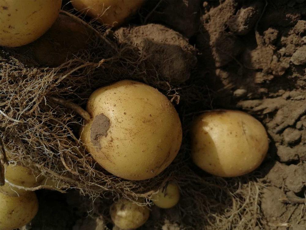 Картофель сорт Орла (Голландия)