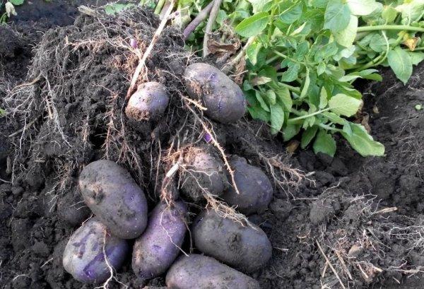 Картофель сорт Гурман