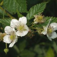 30502 Ежевика цветет, а ягод не дает