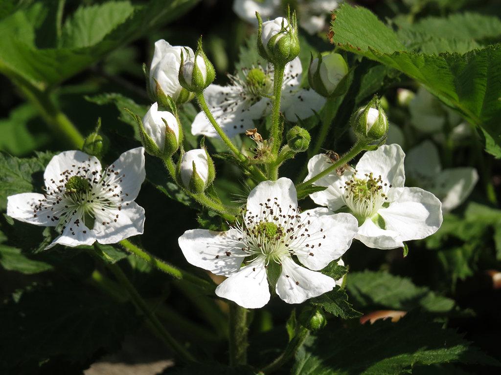 Ежевика цветет, а ягод не дает фото - 29329