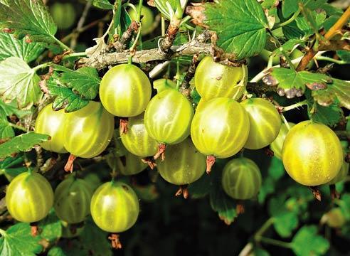 Спешите посадить ягодники, если не успели осенью