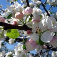 30517 Как затормозить цветение, чтобы сохранить урожай