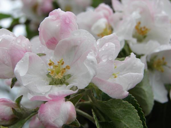 Как затормозить цветение, чтобы сохранить урожай фото - 29340