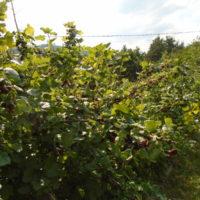 Советы по выращиванию смородины фото - 29345 200x200