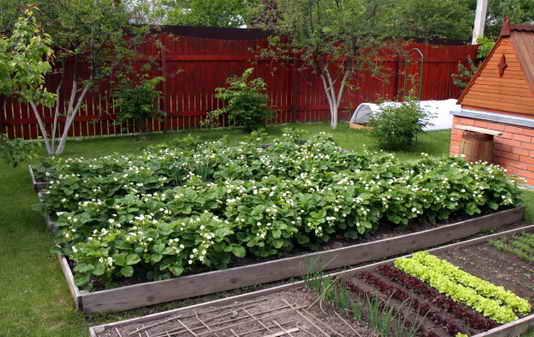Как правильно посадить землянику фото - 29554