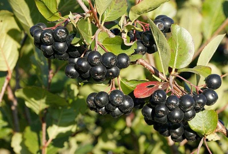 Посадите черноплодную рябину и будьте здоровы