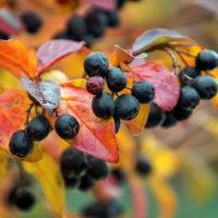 30572 Посадите черноплодную рябину и будьте здоровы