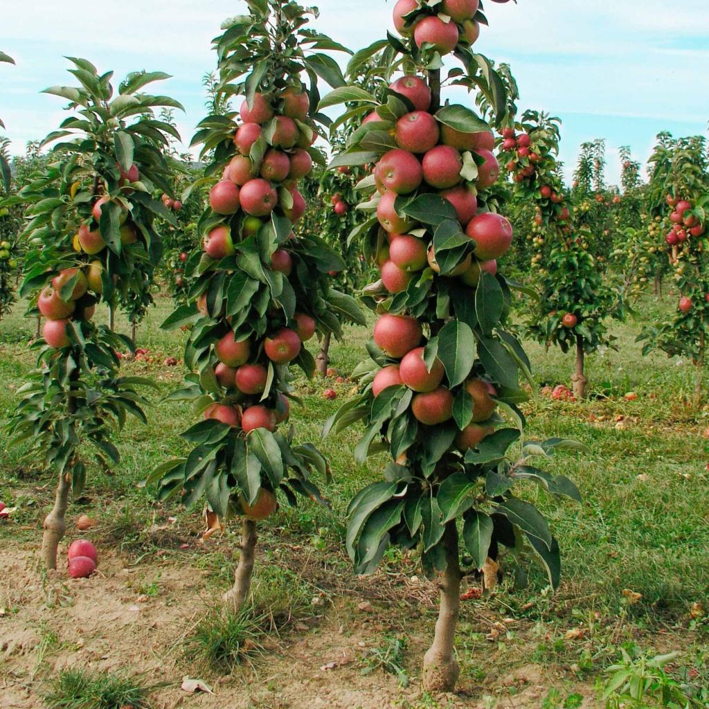 6 важных работ для колонновидных яблонь фото - 29863