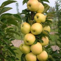 6 важных работ для колонновидных яблонь фото - 29864 200x200