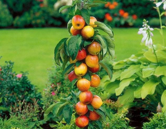 6 важных работ для колонновидных яблонь фото - 29865