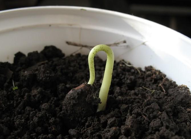 Как вырастить хурму из косточки