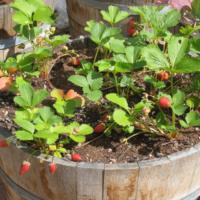 30624 Все секреты выращивания земляники из семян