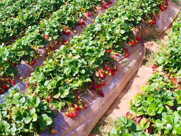5 приемов, которые увеличат размер ягод клубники в два раза фото - 30647