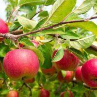 30663 Иммунные к парше сорта яблок
