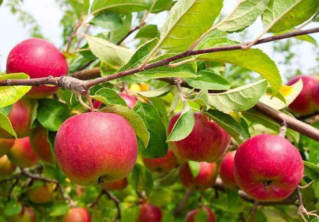 Иммунные к парше сорта яблок
