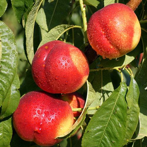 4 главных секрета выращивания нектарина