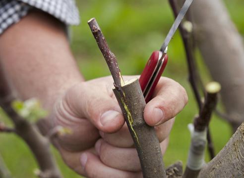 Укоренение и выращивание подвоев для плодовых и ягодных культур