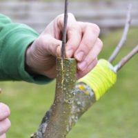 Укоренение и выращивание подвоев для плодовых и ягодных культур фото - 32065 200x200