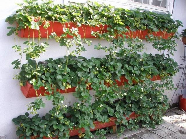 В чем причина низкого урожая земклуники