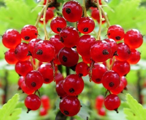 Лучшие сорта красной смородины фото - 32814