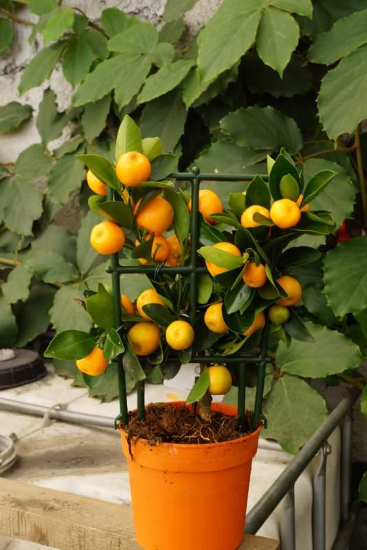 Мини-мандарин выращиваем дома