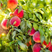 Персики, сливы, абрикос из косточки: от дички до нового сорта фото - 33627 200x200