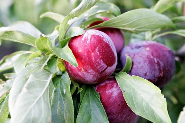 Персики, сливы, абрикос из косточки: от дички до нового сорта фото - 33628