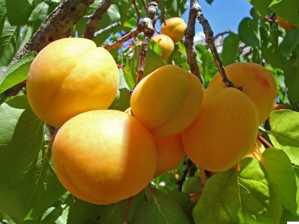 Персики, сливы, абрикос из косточки: от дички до нового сорта фото - 33629