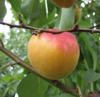 Персики, сливы, абрикос из косточки: от дички до нового сорта фото - 33630