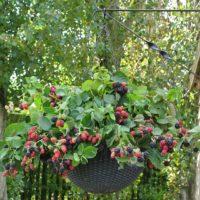 30901 Как выращивать ежевику