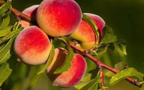 30917 Как защитить персик от болезней