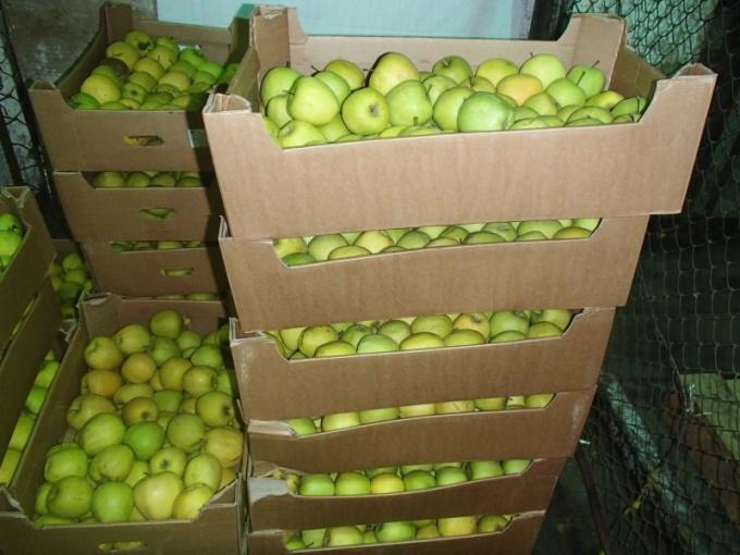 Зима: почему гниют яблоки фото - 34092