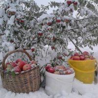 30966 Колыбельная для яблони