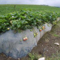 31044 Стоит ли выращивать настоящую клубнику